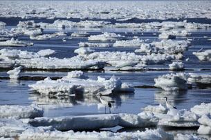 流氷とタンチョウの写真素材 [FYI01193433]