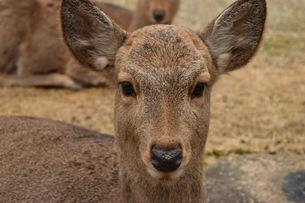 カメラ目線の鹿の写真素材 [FYI01193502]