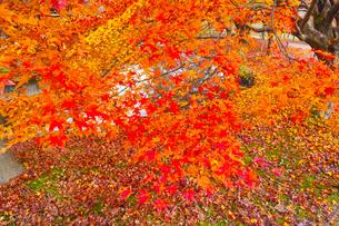 晩秋の京都左京区の紅葉と池の写真素材 [FYI01193538]