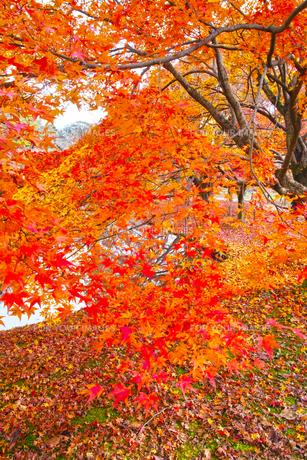晩秋の京都左京区の紅葉と池の写真素材 [FYI01193539]
