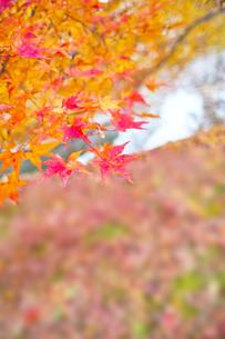 晩秋の京都左京区の紅葉と池の写真素材 [FYI01193540]
