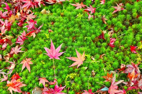 晩秋の京都左京区の散り紅葉と苔の写真素材 [FYI01193545]