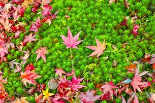 晩秋の京都左京区の散り紅葉と苔の写真素材 [FYI01193546]