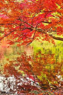 晩秋の京都左京区の紅葉と池の写真素材 [FYI01193548]