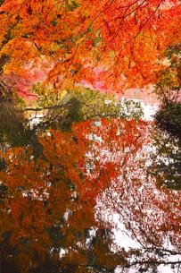 晩秋の京都左京区の紅葉と池の写真素材 [FYI01193551]