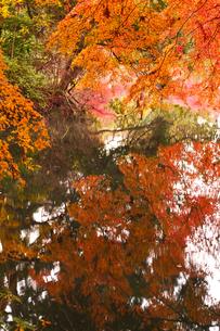 晩秋の京都左京区の紅葉と池の写真素材 [FYI01193552]