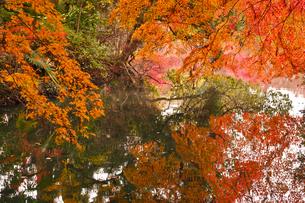 晩秋の京都左京区の紅葉と池の写真素材 [FYI01193553]