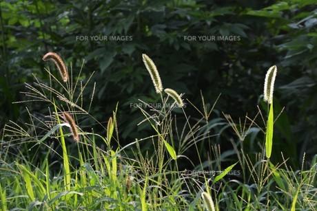 朝の陽光に美しくかがやく雑草「エノコログサ」の写真素材 [FYI01193554]