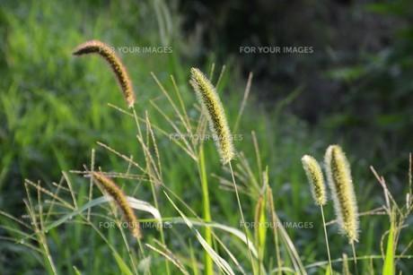 朝の陽光に美しくかがやく雑草「エノコログサ」の写真素材 [FYI01193555]