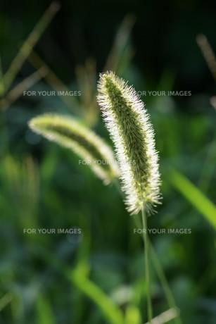 朝の陽光に美しくかがやく雑草「エノコログサ」の写真素材 [FYI01193556]