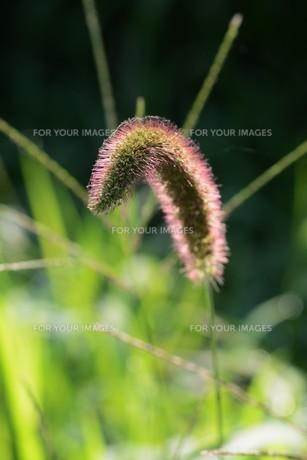 朝の陽光に美しくかがやく雑草「エノコログサ」の写真素材 [FYI01193557]