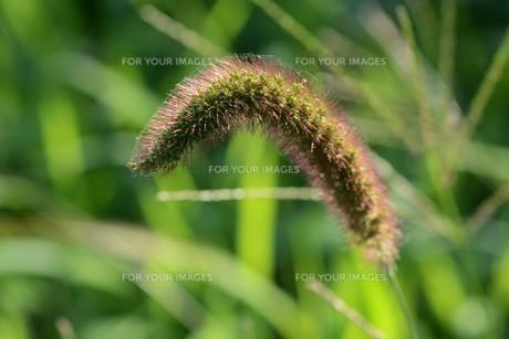 朝の陽光に美しくかがやく雑草「エノコログサ」の写真素材 [FYI01193558]