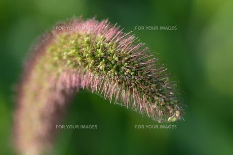 朝の陽光に美しくかがやく雑草「エノコログサ」の写真素材 [FYI01193559]