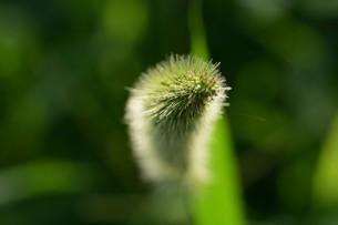 朝の陽光に美しくかがやく雑草「エノコログサ」の写真素材 [FYI01193560]