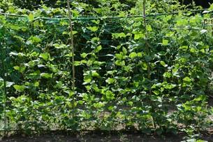インゲン豆栽培・家庭菜園の写真素材 [FYI01193565]