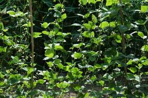 インゲン豆栽培・家庭菜園の写真素材 [FYI01193566]