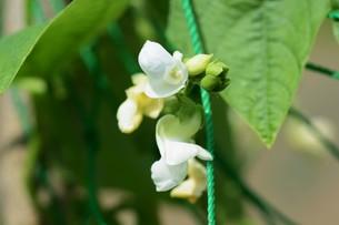 インゲン豆栽培・家庭菜園の写真素材 [FYI01193567]