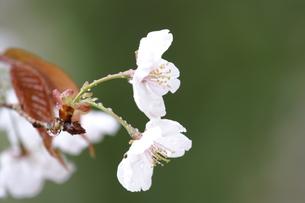 雨の桜の写真素材 [FYI01193614]