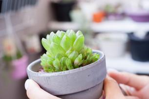 多肉植物(ユリ科ハオルチア属)の写真素材 [FYI01193616]