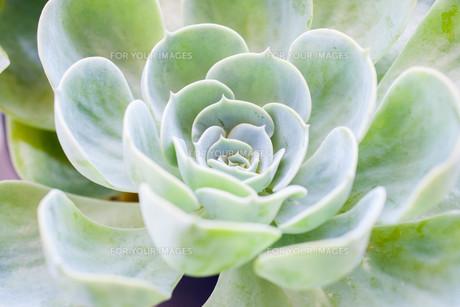 多肉植物(ベンケイソウ科エケベリア属七福神)の写真素材 [FYI01193617]