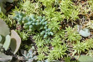 多肉植物の寄せ植えの写真素材 [FYI01193620]
