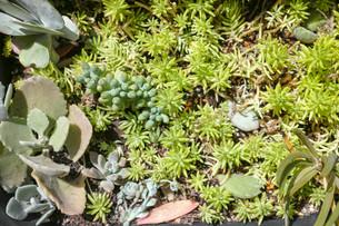多肉植物の寄せ植えの写真素材 [FYI01193622]