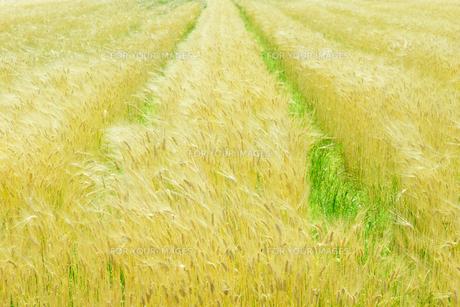麦畑の写真素材 [FYI01194229]