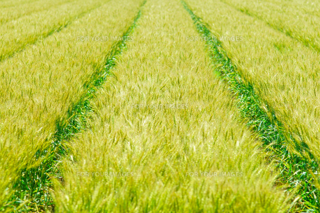 麦畑の写真素材 [FYI01194230]