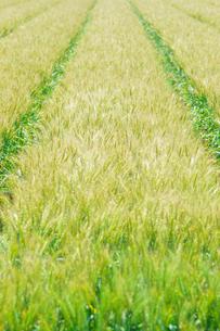 麦畑の写真素材 [FYI01194231]