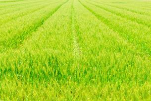 麦畑の写真素材 [FYI01194232]