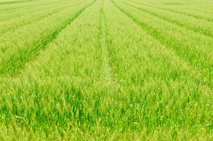 麦畑の写真素材 [FYI01194233]