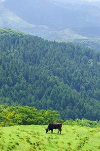 カルスト台地に放牧される牛の写真素材 [FYI01194255]