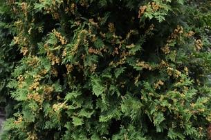 ニオイヒバ(匂い檜葉)の若い実の写真素材 [FYI01194301]