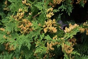 ニオイヒバ(匂い檜葉)の若い実の写真素材 [FYI01194302]