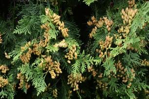 ニオイヒバ(匂い檜葉)の若い実の写真素材 [FYI01194303]