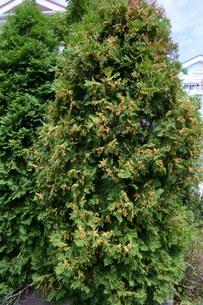 ニオイヒバ(匂い檜葉)の若い実の写真素材 [FYI01194304]