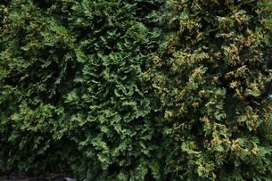 ニオイヒバ(匂い檜葉)の若い実の写真素材 [FYI01194305]