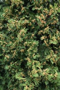 ニオイヒバ(匂い檜葉)の若い実の写真素材 [FYI01194306]