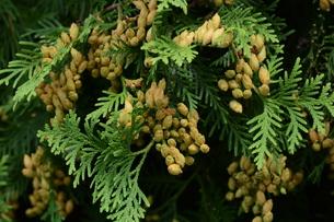 ニオイヒバ(匂い檜葉)の若い実の写真素材 [FYI01194307]