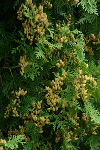 ニオイヒバ(匂い檜葉)の若い実の写真素材 [FYI01194310]