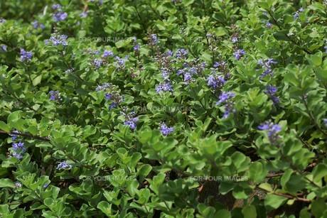 ハマゴウ(蔓荊)の花の写真素材 [FYI01194311]