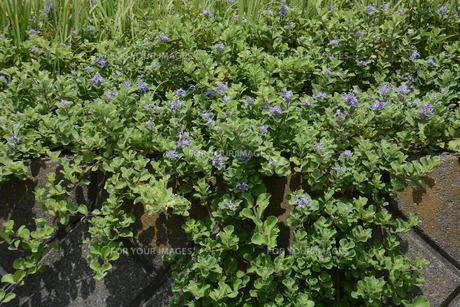 ハマゴウ(蔓荊)の花の写真素材 [FYI01194312]