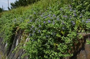 ハマゴウ(蔓荊)の花の写真素材 [FYI01194313]