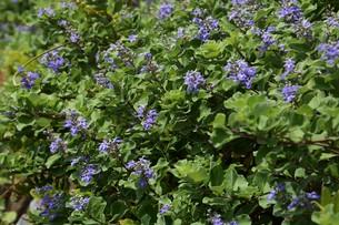 ハマゴウ(蔓荊)の花の写真素材 [FYI01194314]