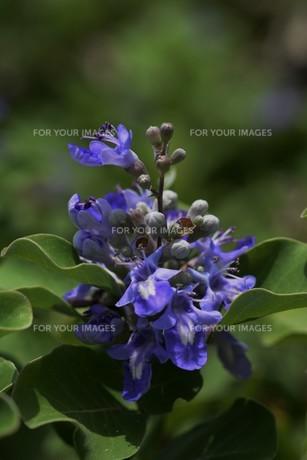 ハマゴウ(蔓荊)の花の写真素材 [FYI01194315]