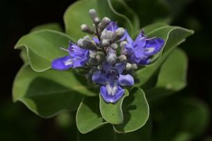 ハマゴウ(蔓荊)の花の写真素材 [FYI01194316]