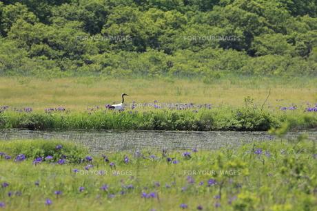 タンチョウ アヤメの咲く沼の写真素材 [FYI01194474]