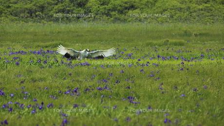 タンチョウ アヤメの咲く沼の写真素材 [FYI01194481]