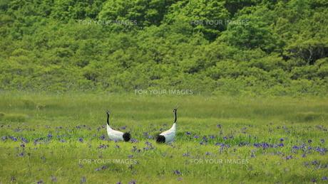 タンチョウ アヤメの咲く沼の写真素材 [FYI01194482]