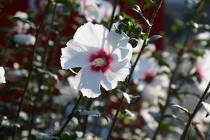 ムクゲ(木槿)の花の写真素材 [FYI01194685]
